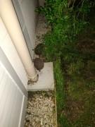 Deux petits hérissons qui viennent le soir près chez moi. On leur met un peu de nourriture et de l'eau. Au début, un seul venait, puis un deuxième :-)
